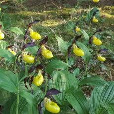 Wildwachsende Frauenschuh Orchidee