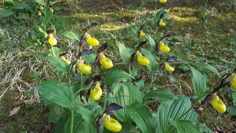 Frauenschuhwanderung - Orchideenweg von Fürnried nach Lichtenegg und zurück